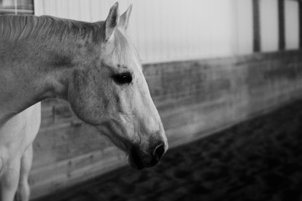 Black and white photograph of a white horse. This image is a close up of the horse's head I profile