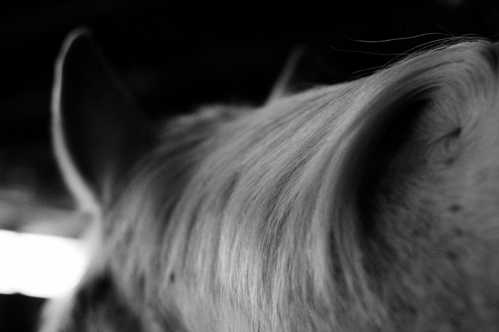 Black and white photograph of a white horse. This image is a close up of the horse's forehead and hair.