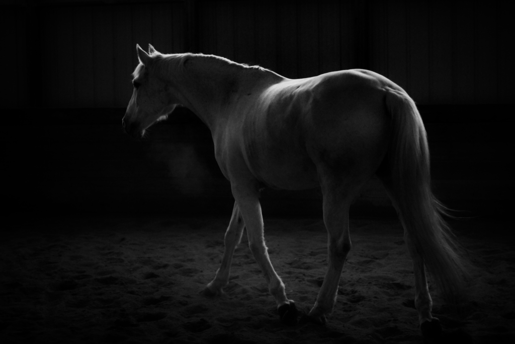 Black and white photograph of a white horse. This image is a fun body shot of the horse walking
