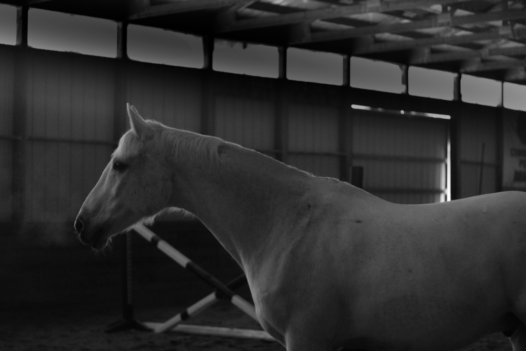 Black and white photograph of a white horse. This image is a vie of the horse's head and front body in profile.