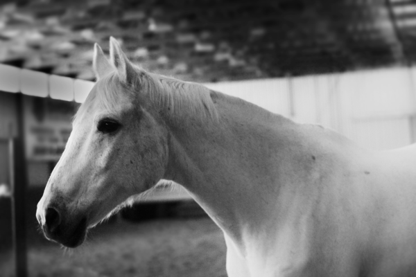 Black and white photograph of a white horse. This is a image of the horse head and neck in profile