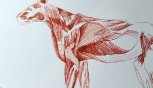 Pen (red) and paper sketch of the muscular structure of a Lion