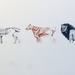 Three pen and paper drawings of a lion. the first drawing on the left is the skeleton of a lion, the middle drawing is the muscular structure of a lion and the last drawing on the right is a lion