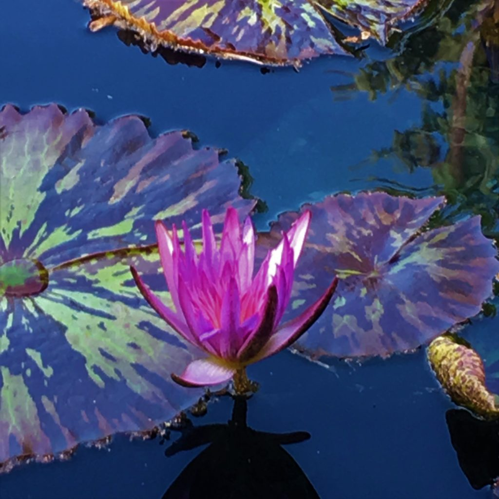 Photograph of pond lilies. there are 3 pads that are visible that are green with dark brown streaks and one flower that is open and bright pink and purple.