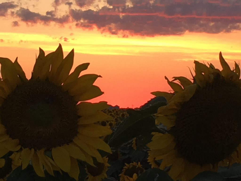 close up of tow sunflowers at sunset. The sunflowers are dark as they are in the shade and the sky is orange yellow and purple with the setting sun