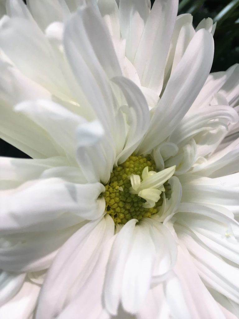 Close up of a daisy with white petals and a bright green centre. There are a few petals growing out of the green centre.